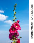 Small photo of Beautiful pink malva (Alcea rosea hollyhock) flowers over blue sky with clouds. Outdoor at the daytime on summer day.