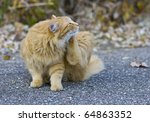 Outdoor Orange Cat Scratching...