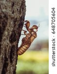 Small photo of slough off, molt of cicada on tree in nature, insect molting.