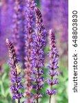 blue salvia flowers blooming... | Shutterstock . vector #648803830
