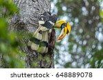 Great Hornbill Male Buceros...