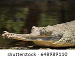 Small photo of The gharial, also known as the gavial, and the fish-eating crocodile, is a crocodilian of the family Gavialidae, native to the northern part of the Indian Subcontinent.