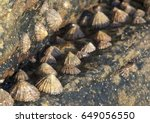 Rocks  Stones  Limpets And...