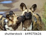 African Wild Dogs  Pilanesberg...