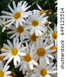 white daisies with yellow core. ... | Shutterstock . vector #649125514