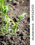 the young shoots of sweet corn  ... | Shutterstock . vector #649162420