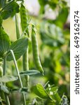 green peas in pods  cultivation ... | Shutterstock . vector #649162474