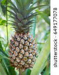 green pineapple fruit and plant ... | Shutterstock . vector #649177078