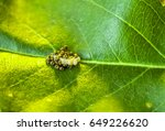 larvae and eggs of the pest bug ...   Shutterstock . vector #649226620