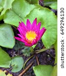 Mini Deep Pink Nymphaea And...