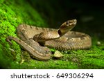 Poisonous snake  malayan pit...