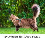 Stock photo black tabby maine coon cat with leash wandering in backyard young cute male cat wearing a harness 649354318