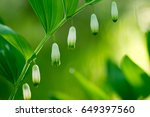 Small photo of closeup to white flowers in spring forest - King Solomon's seal