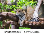 Leopard Take A Nap In The...