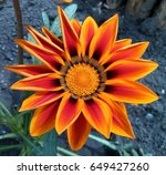 One Orange Gazania Flower  Lik...