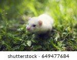 Champagne Ferret Baby In Grass
