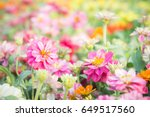 Stock photo pink floral in garden flower zinnia elegans color nature background 649517560