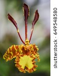 Butterfly Orchid   Psychopsis...