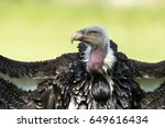 Ruppell's Griffon Vulture  Gyp...