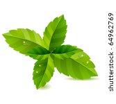fresh green mint leaves... | Shutterstock .eps vector #64962769