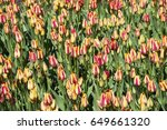 background of tulips. garden... | Shutterstock . vector #649661320