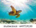 Small photo of Endangered Hawaiian Green Sea Turtle Cruising in the warm waters of the Pacific Ocean in Hawaii