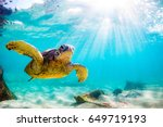 Stock photo endangered hawaiian green sea turtle cruising in the warm waters of the pacific ocean in hawaii 649719193