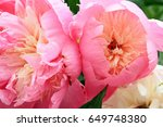 peony flowers two close up pink ... | Shutterstock . vector #649748380