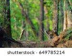 Peek A Boo A Tiger Cub From A...
