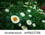 Daisies At The Gardens By The...