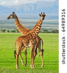 Two Masai Giraffes In Serengeti ...