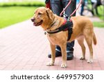 Guide Dog Is Helping A Blind...