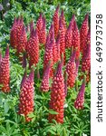 red lupins in a garden | Shutterstock . vector #649973758