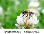 Macro Bee On A White Clover...