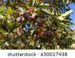 reddish green seed pod  fruit... | Shutterstock . vector #650017438