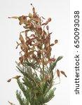 Small photo of Acacia farnesiana boon rood