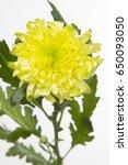 Small photo of Chrysanthemum Indicum Grp disbud Zembla Brasil