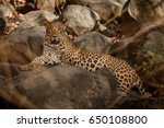 indian leopard in the nature... | Shutterstock . vector #650108800