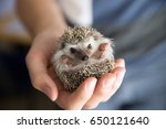 Stock photo person african pygmy hedgehog in hands 650121640