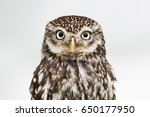 Stock photo direct gaze of a little owl stare 650177950