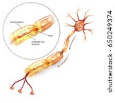 neuron  nerve cell axon and... | Shutterstock .eps vector #650249374