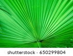 green leaf of a palm tree close ... | Shutterstock . vector #650299804
