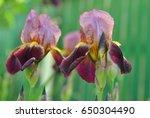 Two Purple Iris Flowers Macro...