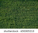 aerial view sugarcane... | Shutterstock . vector #650305213