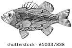 largemouth bass   Shutterstock .eps vector #650337838