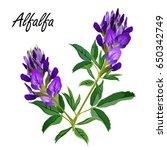 alfalfa flowers  medicago... | Shutterstock .eps vector #650342749