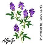alfalfa  medicago sativa ... | Shutterstock .eps vector #650342758