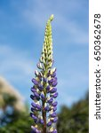 blossoming lupines with copy... | Shutterstock . vector #650362678