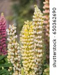 blossoming lupines with copy... | Shutterstock . vector #650362690