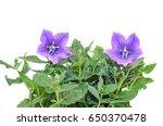 platycodon grandiflorus astra... | Shutterstock . vector #650370478